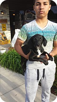 Labrador Retriever Puppy for adoption in San Antonio, Texas - Andy