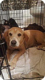 Labrador Retriever Mix Dog for adoption in ROSENBERG, Texas - Tessa