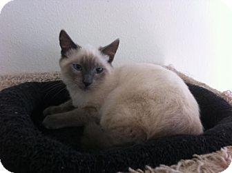 Siamese Cat for adoption in Oviedo, Florida - Dipper the Siamese Kitten