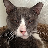 Domestic Shorthair Cat for adoption in Ridge, New York - DUNCAN