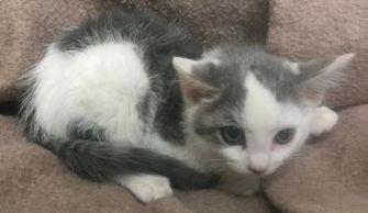 Domestic Shorthair/Domestic Shorthair Mix Kitten for adoption in Clarkesville, Georgia - Steve Trevor