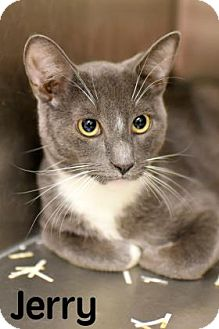 Domestic Shorthair Cat for adoption in Gulfport, Mississippi - Jerry