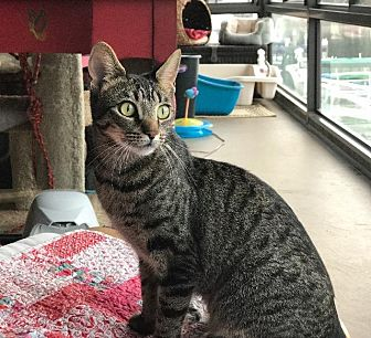 Domestic Shorthair Cat for adoption in Oxnard, California - Ahina