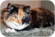 Norwegian Forest Cat Kitten for adoption in Arlington, Virginia - Cassandra