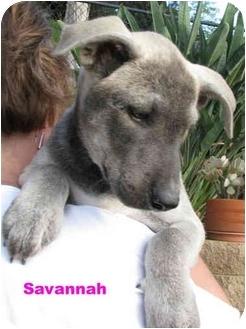Catahoula Leopard Dog/Labrador Retriever Mix Puppy for adoption in Poway, California - Savannah