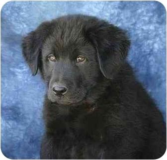 Labrador Retriever/Chow Chow Mix Puppy for adoption in Ladysmith, Wisconsin - D0741