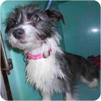 Yorkie, Yorkshire Terrier Mix Dog for adoption in Yuba City, California - Gracie