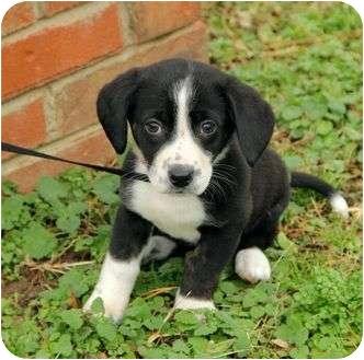 Rat Terrier/Dachshund Mix Puppy for adoption in Windham, New Hampshire - Addison