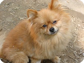 Pomeranian Dog for adoption in Afton, Tennessee - Alfie
