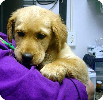 Golden Retriever/Basset Hound Mix Puppy for adoption in Manassas, Virginia - Rail