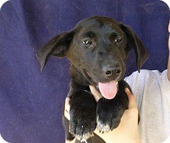 Corgi/Labrador Retriever Mix Puppy for adoption in Oviedo, Florida - Helen