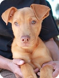 Labrador Retriever Mix Puppy for adoption in Coral Springs, Florida - Teddy