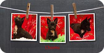 Pomeranian Mix Puppy for adoption in Hollis, Maine - Cheeto