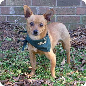 Chihuahua/Miniature Pinscher Mix Dog for adoption in Mocksville, North Carolina - Ricoh