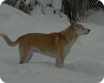 Labrador Retriever/Husky Mix Dog for adoption in Seattle c/o Kingston 98346/ Washington State, Washington - Nora OH Urgent