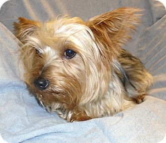 Yorkie, Yorkshire Terrier Dog for adoption in CONOVER, North Carolina - Lilly