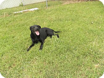 Labrador Retriever Mix Dog for adoption in Osceola, Arkansas - Beau