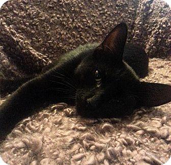 American Shorthair Cat for adoption in Tampa, Florida - Paulina