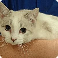 Adopt A Pet :: CHAMPAGNE - Diamond Bar, CA