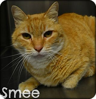 Domestic Shorthair Cat for adoption in Beaumont, Texas - Smee