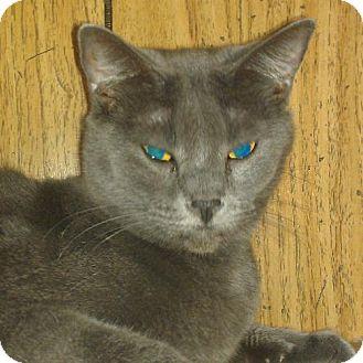 Russian Blue Cat for adoption in Holden, Missouri - Sophia
