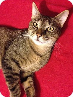 Domestic Shorthair Cat for adoption in Richmond, Virginia - Toby