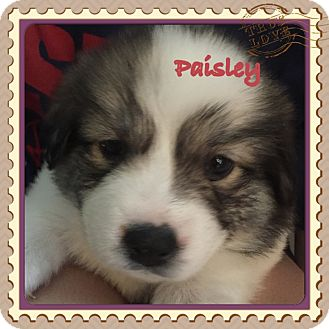 Bernese Mountain Dog/St. Bernard Mix Puppy for adoption in Moosup, Connecticut - PAISLEY