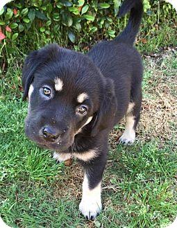 Labrador Retriever/Retriever (Unknown Type) Mix Puppy for adoption in Flower Mound, Texas - Bailey