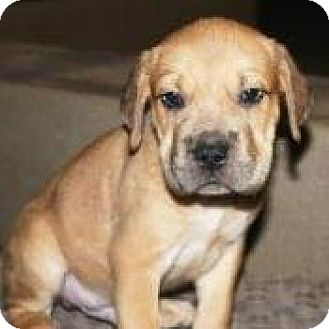 Boxer/Shar Pei Mix Puppy for adoption in Gilbert, Arizona - Gideon