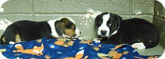 Labrador Retriever Mix Puppy for adoption in Henderson, North Carolina - Vann Pups (2F left)