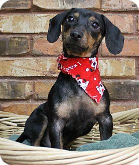 Dachshund Mix Dog for adoption in Benbrook, Texas - Nano