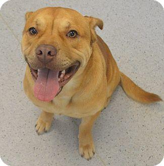 Bulldog Mix Dog for adoption in Gainesville, Florida - Binks