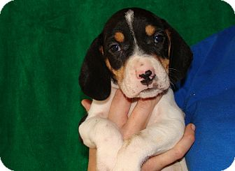 Beagle Puppy for adoption in Oviedo, Florida - Degas