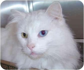 Domestic Longhair Cat for adoption in Overland Park, Kansas - Farrell