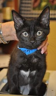Domestic Shorthair/Domestic Shorthair Mix Cat for adoption in Pompano Beach, Florida - 27971789