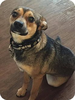 Chihuahua Mix Dog for adoption in Fargo, North Dakota - Baxter **ADOPTION PENDING**