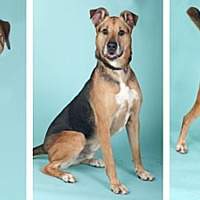German Shepherd Dog Mix Dog for adoption in Chicago, Illinois - Wilson