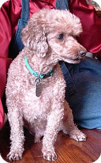 Poodle (Miniature) Dog for adoption in Winfield, Pennsylvania - Jerry