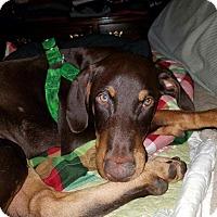 Adopt A Pet :: Ruger - Washington, DC