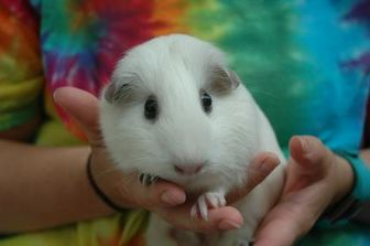 Guinea Pig for adoption in Bedford, New Hampshire - Peppa