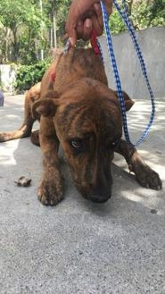 Terrier (Unknown Type, Small) Mix Dog for adoption in St. Thomas, Virgin Islands - TIGER