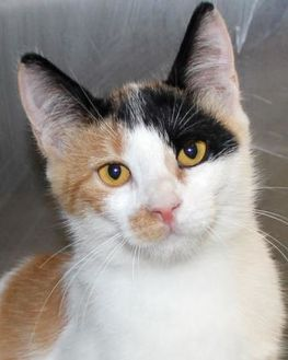 Domestic Shorthair/Domestic Shorthair Mix Cat for adoption in Victoria, Texas - Kissa