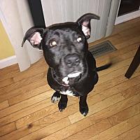Adopt A Pet :: Shadow - Jerseyville, IL