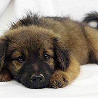 Adopt A Pet :: Andrea - Westminster, CO
