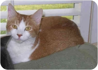 Domestic Shorthair Cat for adoption in Palmdale, California - Henry