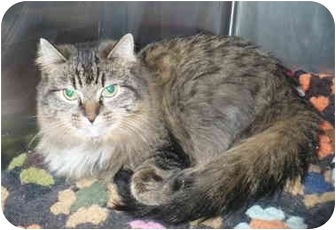 Maine Coon Cat for adoption in Colmar, Pennsylvania - Rachel