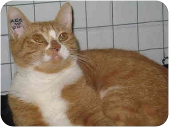 Domestic Shorthair Cat for adoption in Mission, British Columbia - Lily