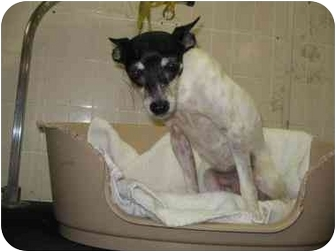 Rat Terrier/Terrier (Unknown Type, Small) Mix Dog for adoption in Carthage, Texas - Little Bit