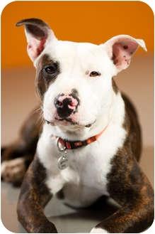 Pit Bull Terrier Dog for adoption in Portland, Oregon - Kevin
