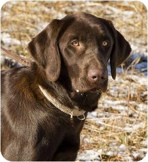Labrador Retriever Dog for adoption in Crumpler, North Carolina - Willow